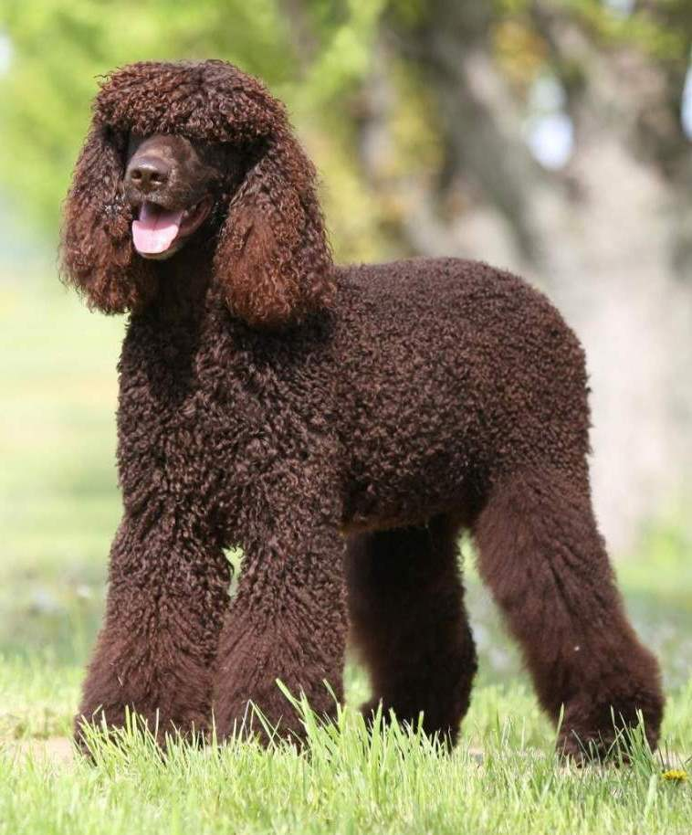 American Water Spaniel Breed Standard