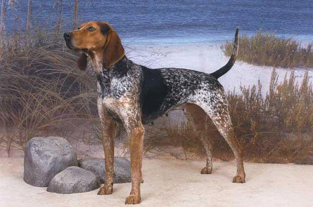 American English Coonhound Breed Standard