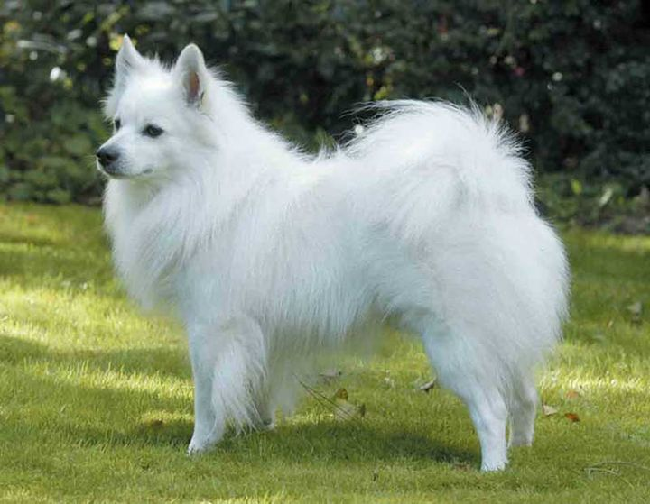 American Eskimo Dog Breed Standard