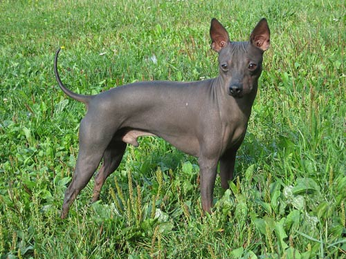 American Hairless Terrier Breed Standard