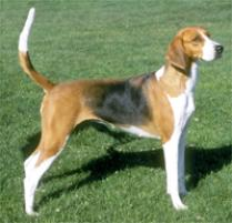 American Foxhound Breed Standard