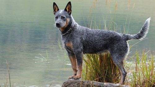 Australian Cattle Dog Breed Standard