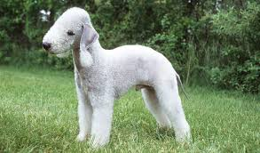 Bedlington Terrier Breed Standard