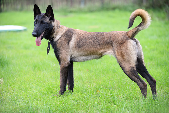 Belgian Malinois Breed Standard