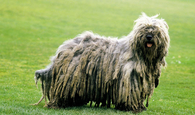 Bergamasco Breed Standard