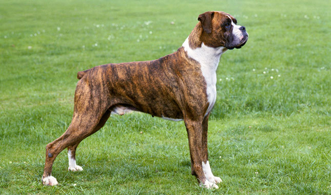 Boxer Breed Standard