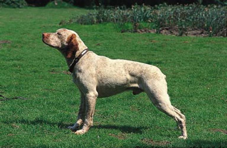 Braque du Bourbannais Breed Standard