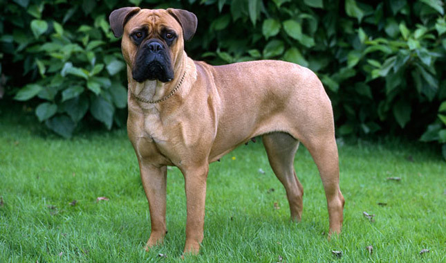 Bullmastiff Breed Standard