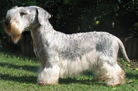 Cesky Terrier Breed Standard