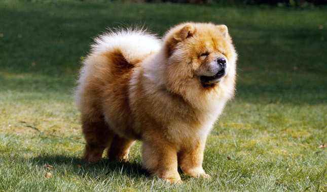 Chow Chow Breed Standard