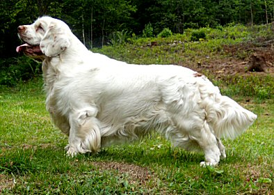 Clumber Spaniel Breed Standard