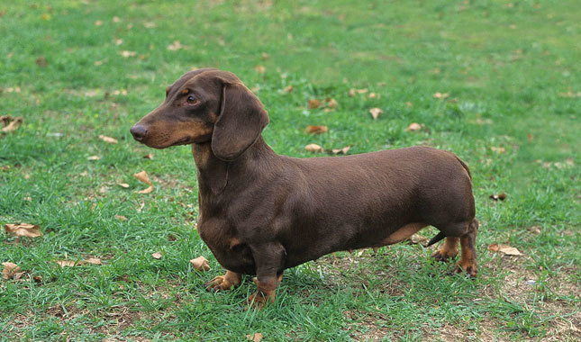 Dachshund Breed Standard