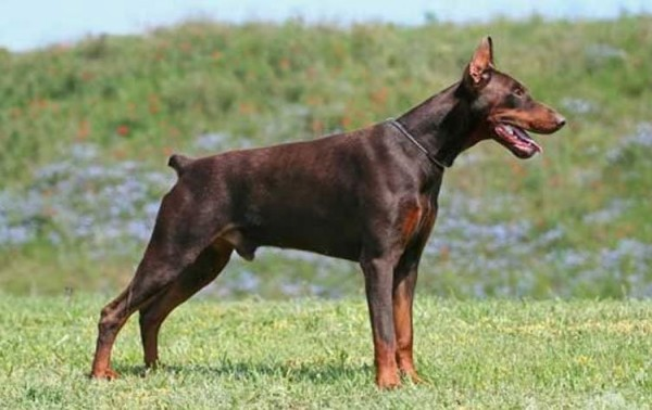 Doberman Pinscher Breed Standard