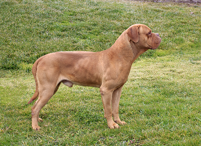 Dogue de Bordeaux Breed Standard