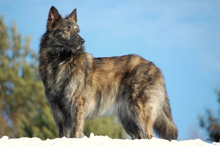 Dutch Shepherd Breed Standard