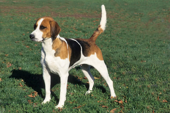 English Fox Hound