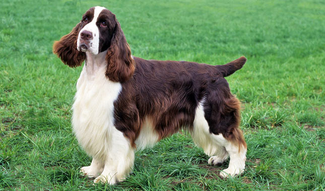 English Springer Spaniel Breed Standard