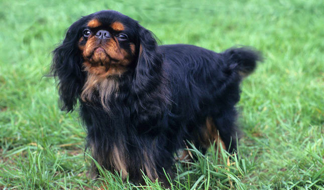 English Toy Spaniel Breed Standard