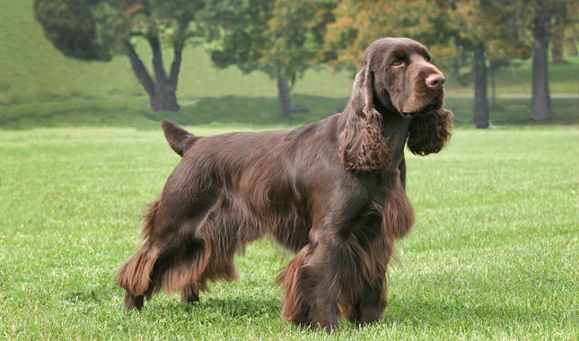 Field Spaniel Breed Standard
