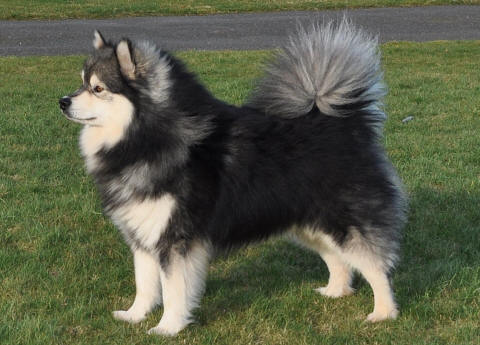 Researchbreedercom Finnish Lapphund Official Breed Standard To