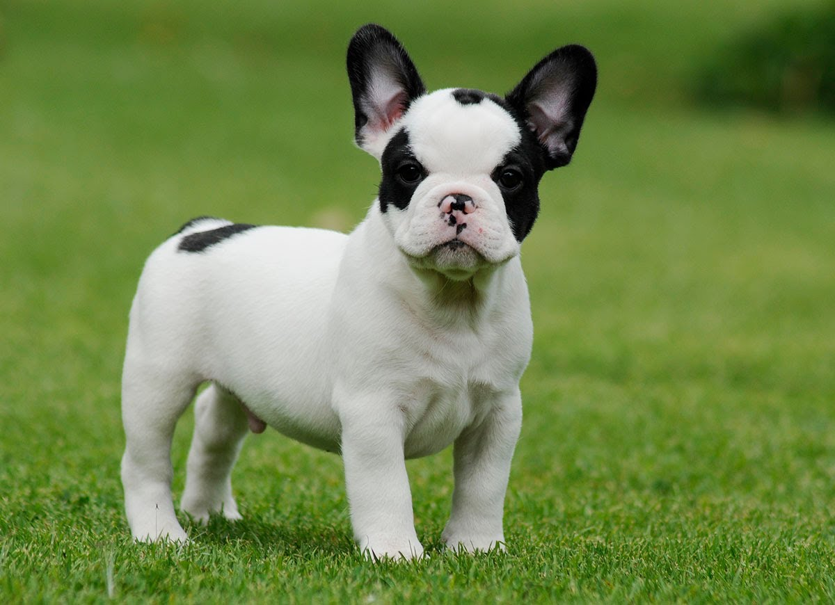 French Bulldog Breed Standard