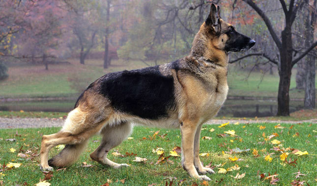 German Shepherd Dog Breed Standard