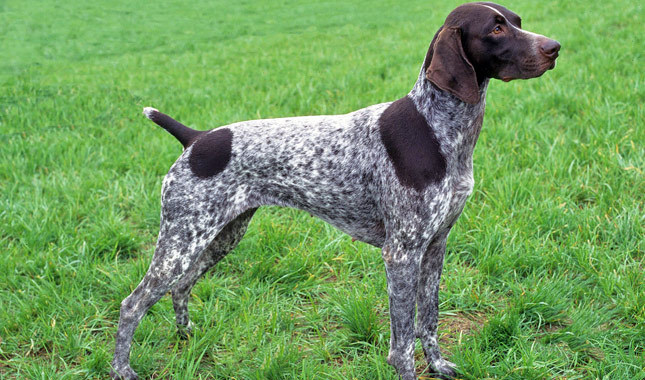 German Shorthaired Pointer Breed Standard