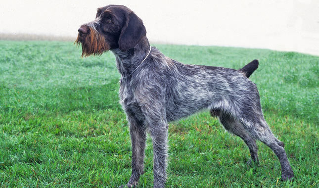 German Wirehaired Pointer Breed Standard