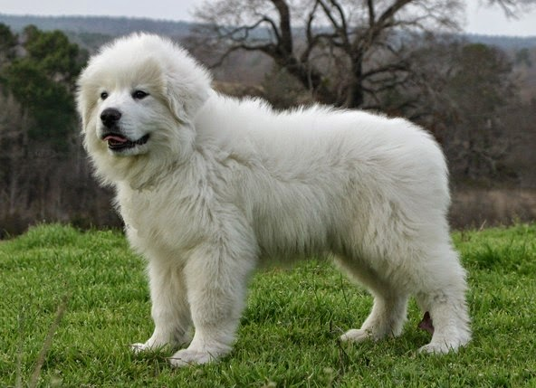 Great Pyrenees Breed Standard
