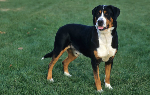 Greater Swiss Mountain Dog Breed Standard