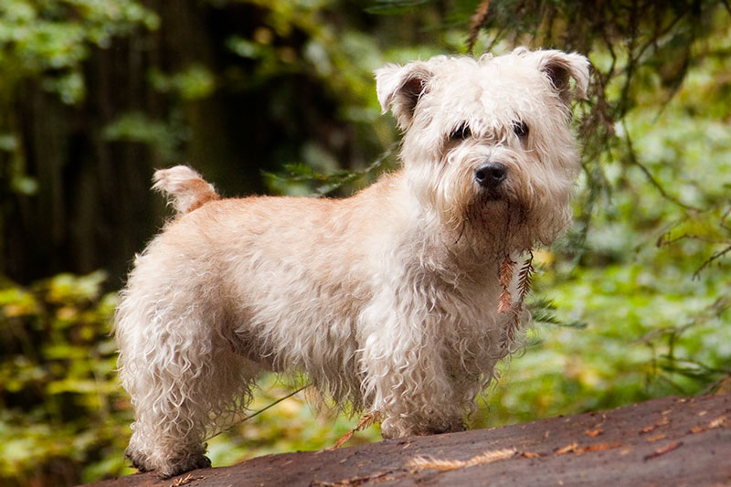 glen of imaal.terrier