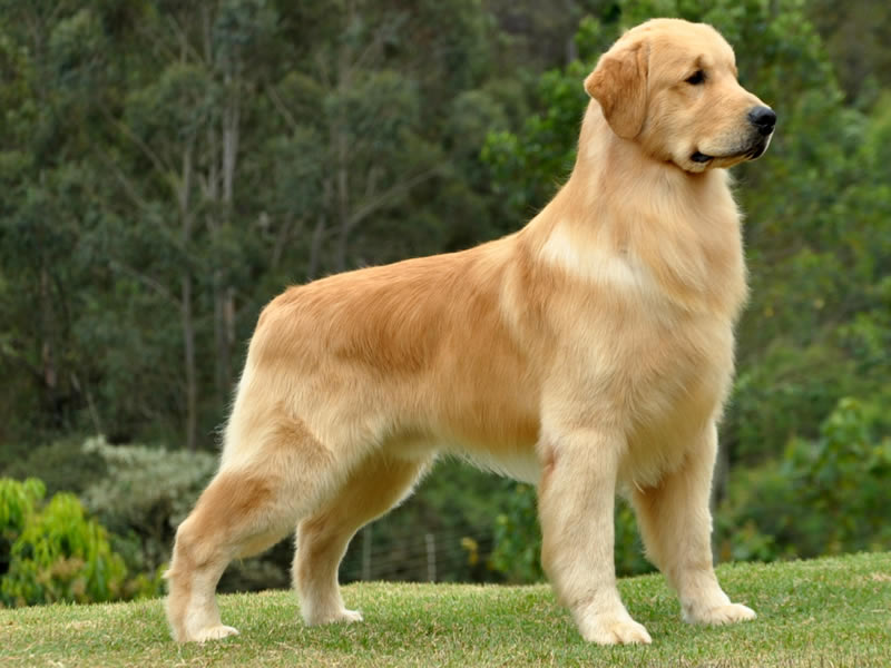 Golden Retriever Breed Standard