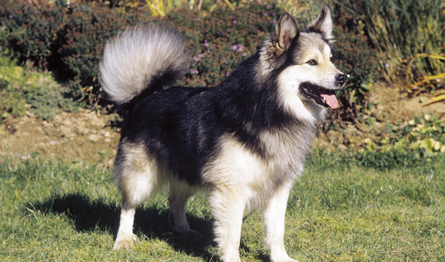 Icelandic Sheepdog Breed Standard