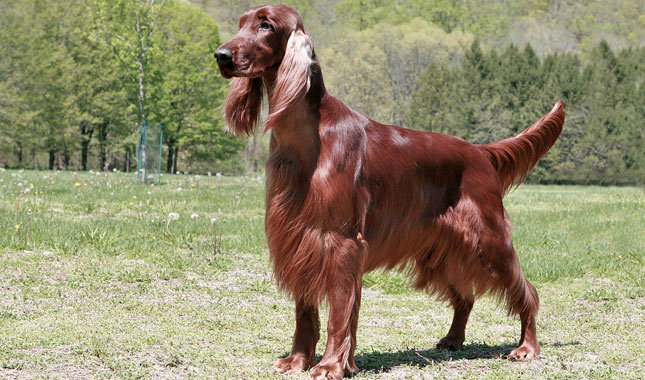 Irish Setter Breed Standard