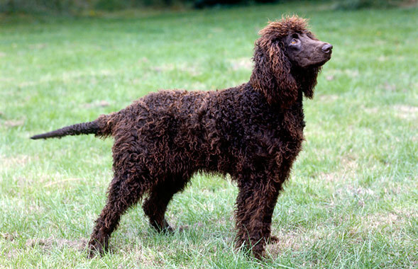 Irish Water Spaniel Breed Standard
