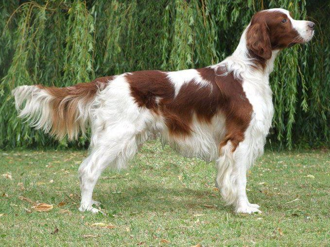 Irish Red and White Setter Breed Standard