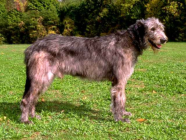 Irish Wolfhound Breed Standard