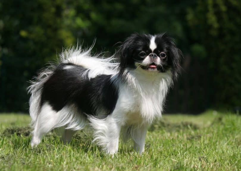 Japanese Chin Breed Standard