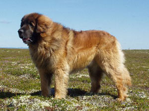 Leonberger Breed Standard
