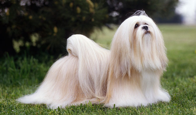 Lhasa Apso Breed Standard
