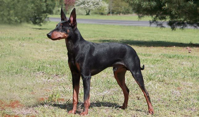 Manchester Terrier Breed Standard