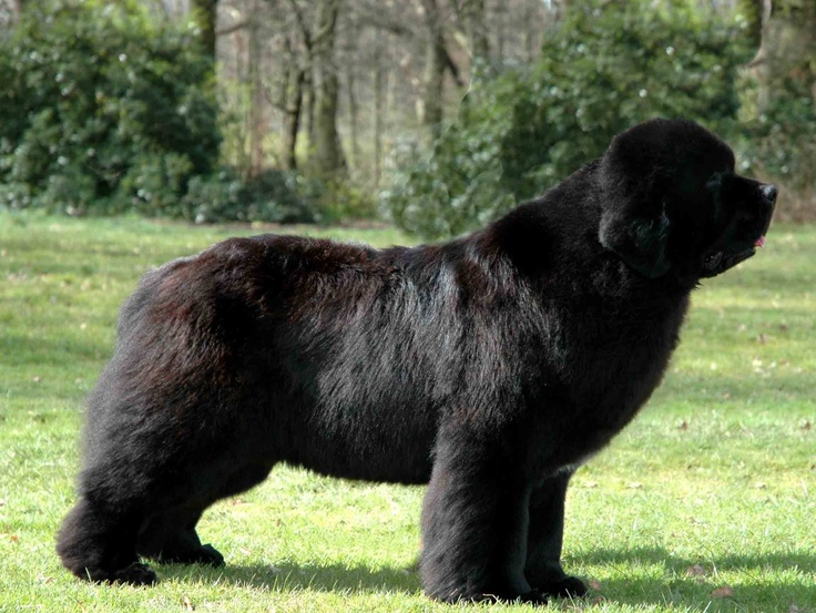 Newfoundland Breed Standard