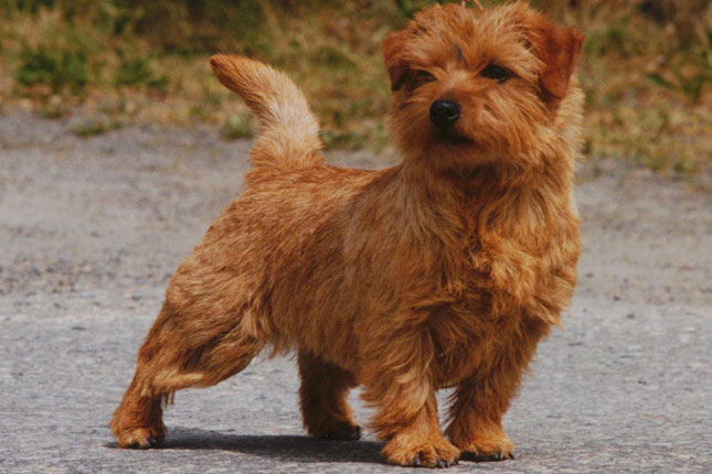 Norfolk Terrier Breed Standard