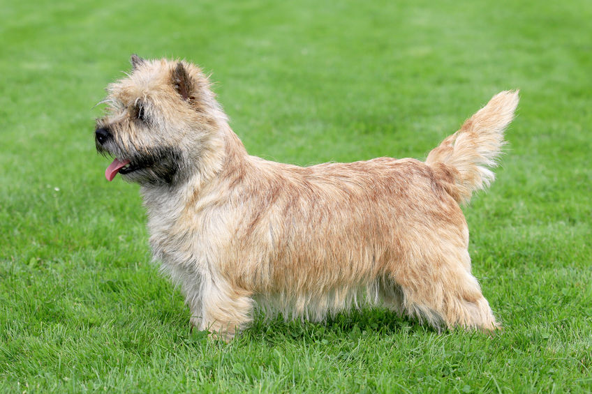 Norwich Terrier Breed Standard