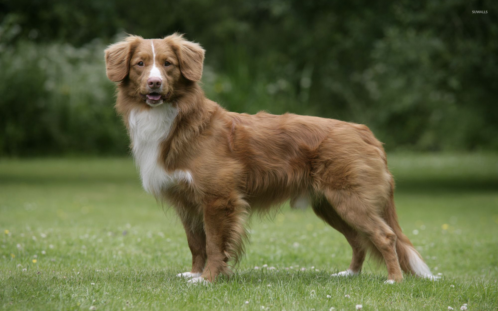 Nova Scotia Duck Tolling Retriever Breed Standard
