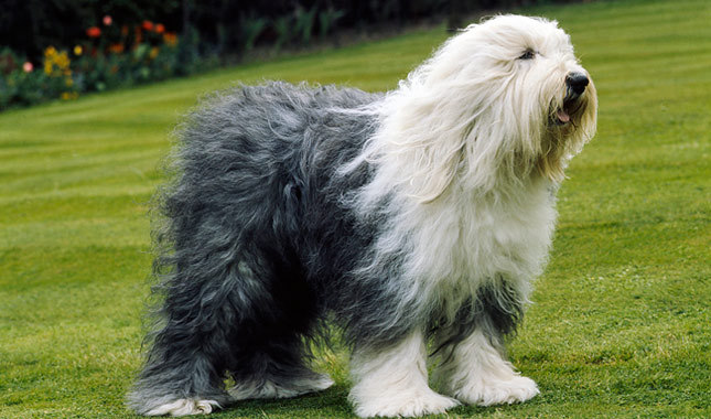 Old English Sheepdog Breed Standard