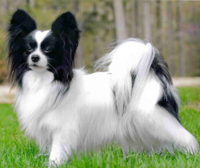 Papillon Breed Standard