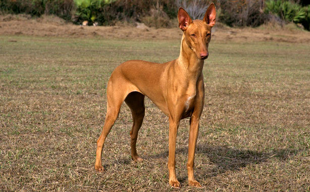 Pharaoh Hound Breed Standard