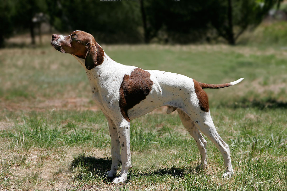 Pointer Breed Standard