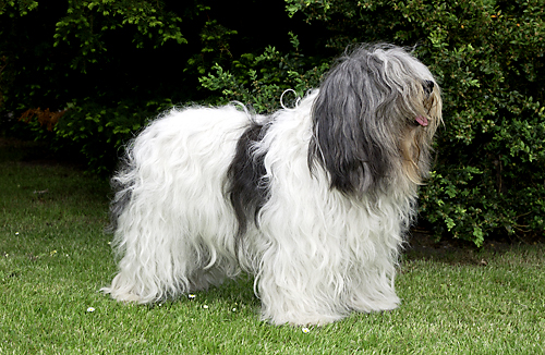 Polish Lowland Sheepdog Breed Standard